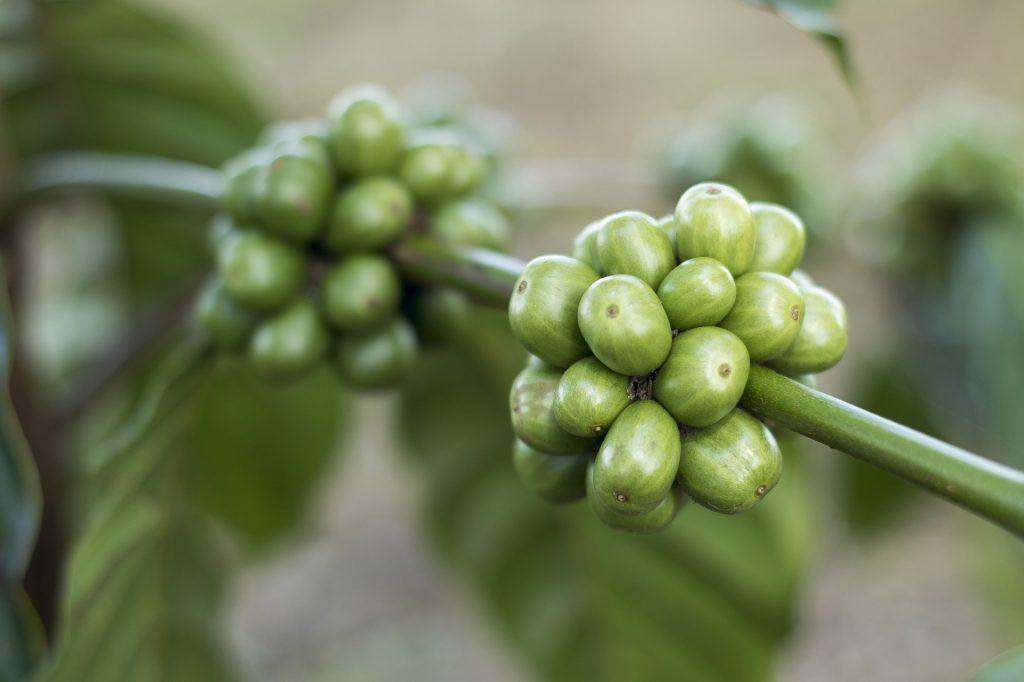 grüner Kaffee auf koerperfett-analyse.de