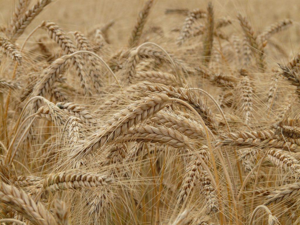Die klassischen Getreidesorten enthalten Gluten auf koerperfett-analyse.de
