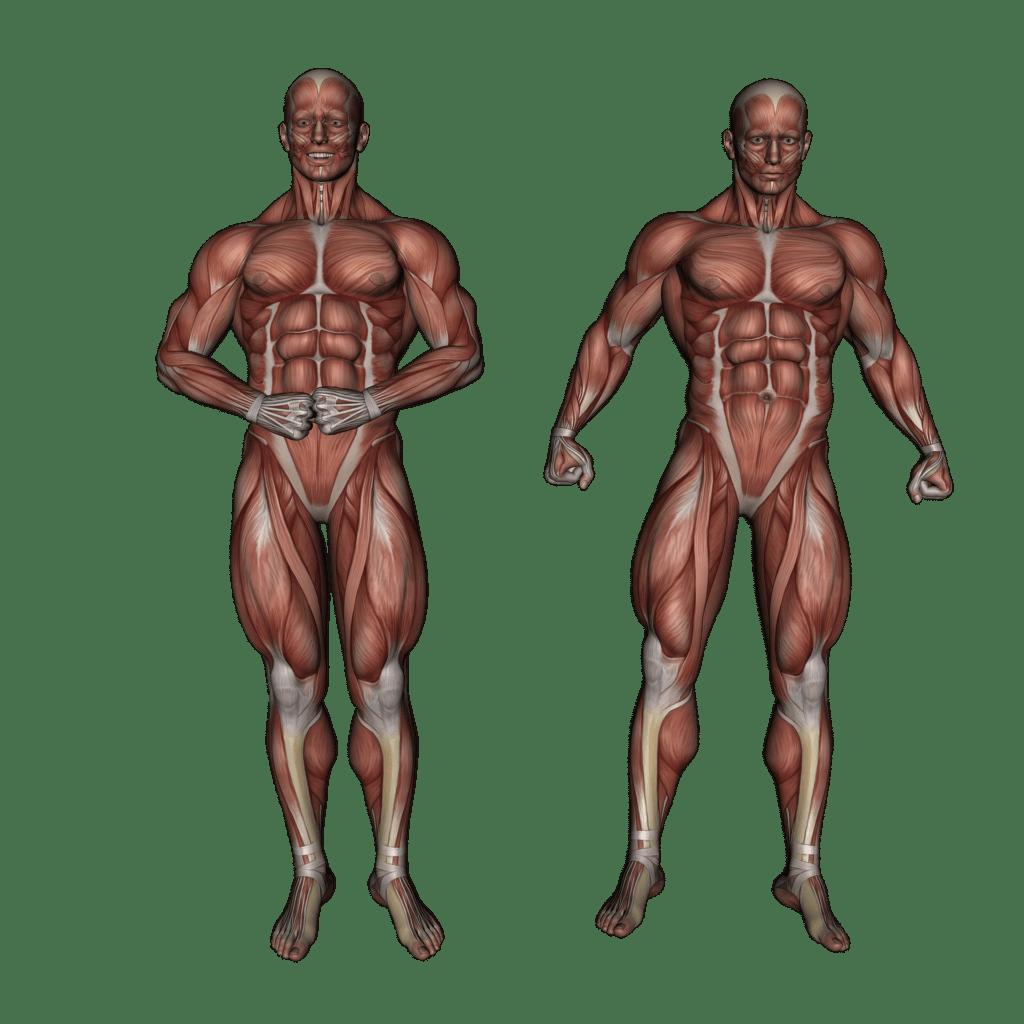 Training, Muskelaufbau und Ruhephasen auf koerperfett-analyse.de